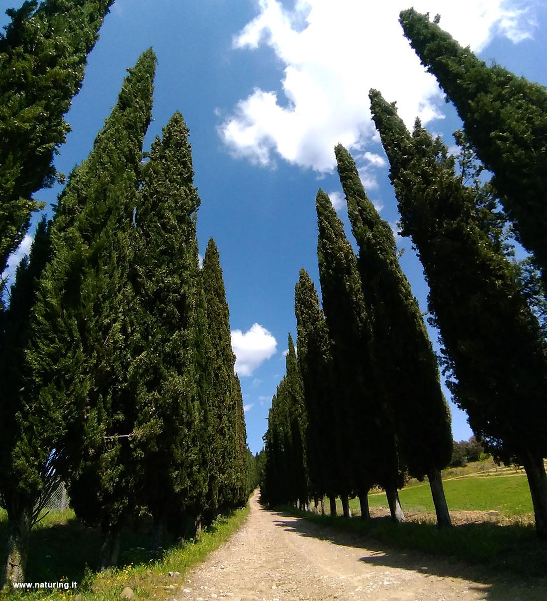cipressi-toscani-naturing