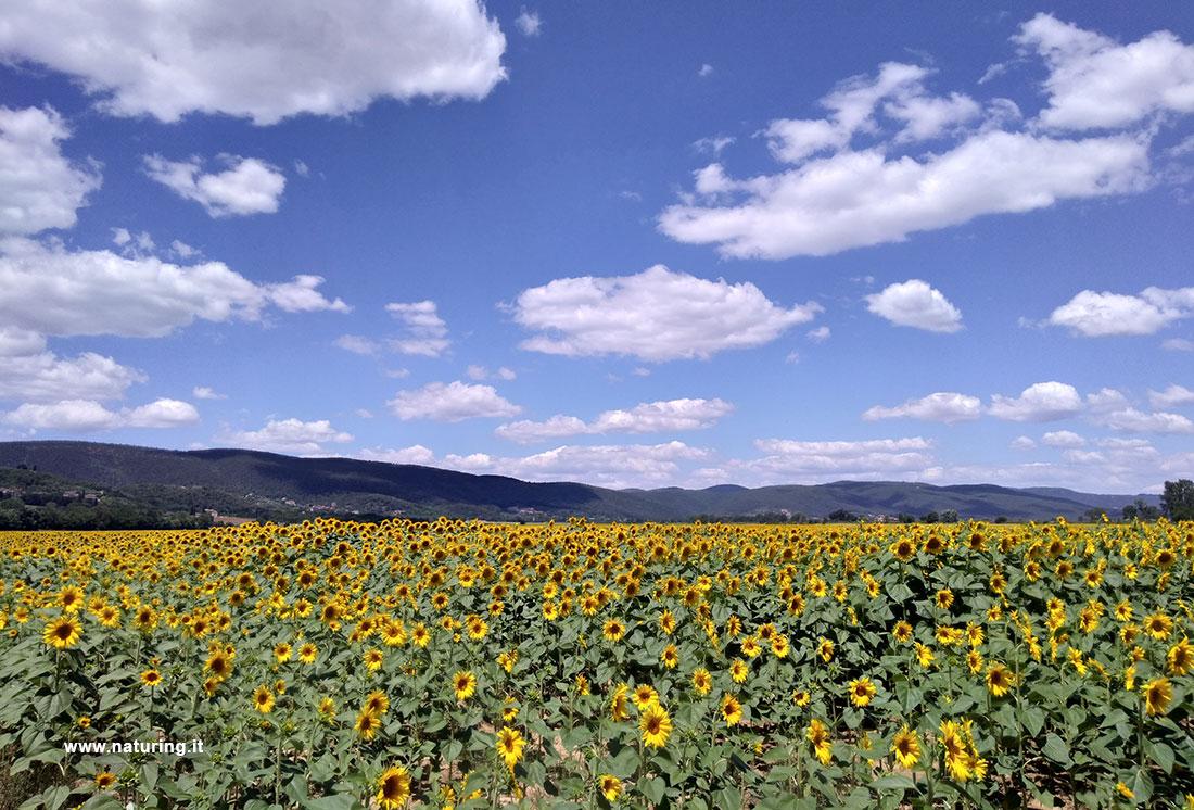 merse-sunflowers