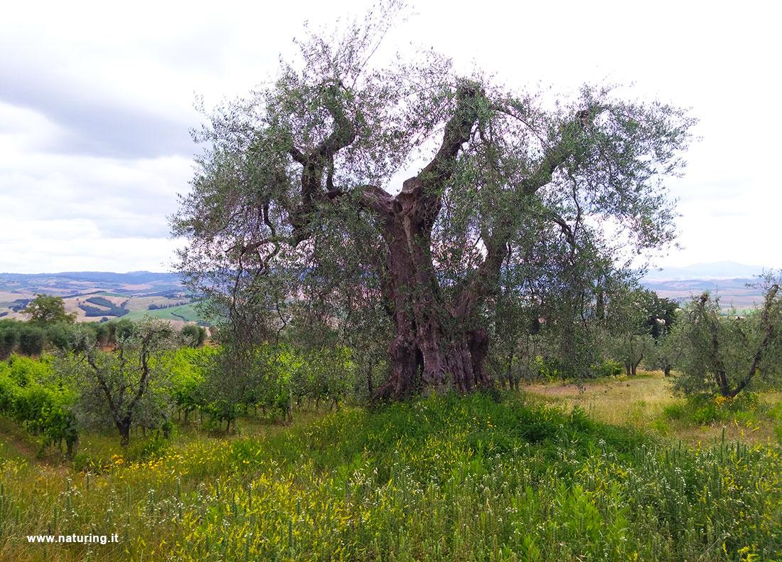 olive-tree-TUSCANY